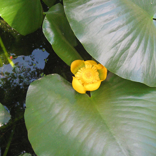 Picture of spatterdock. Get spatterdock herbicide and algae control from Aqua Doc