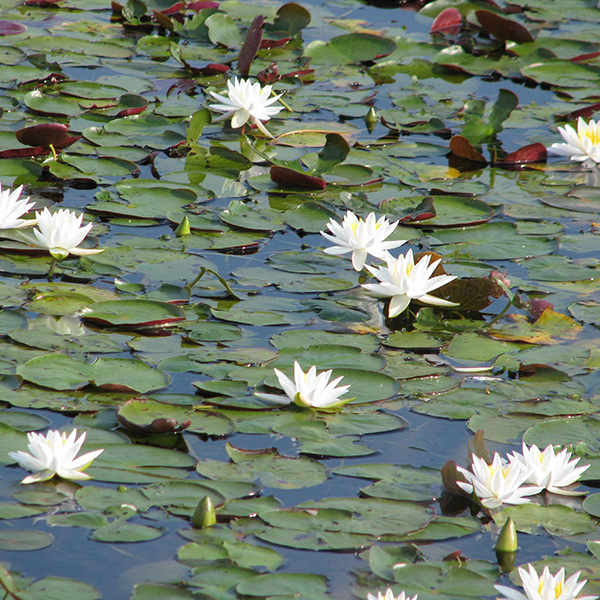Picture of water lilies. Get water lily herbicide and algae control from Aqua Doc
