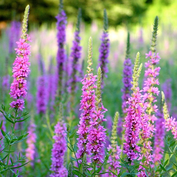 AQUADOC_0003_Purple-Loosestrife