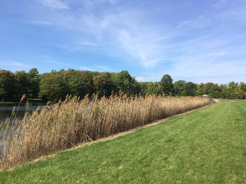 Before Aqua Doc cattail removal services for ponds